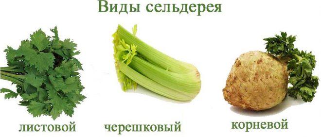 koren-seldereya-polza-i-vred