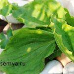 podorozhnik-lechebnye-svojstva-i-protivopokazaniya