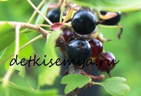 chernaya-smorodina-polza-i-vred-dlya-zdorovya