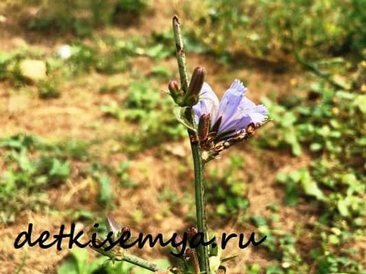 cikorij-rastvorimyj-poleznye-svojstva