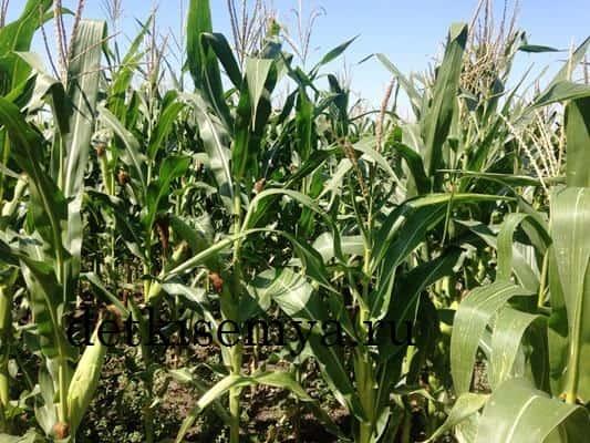 kukuruznye-rylca-lechebnye-svojstva