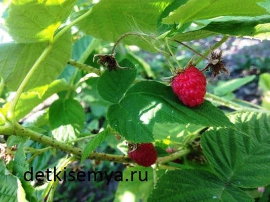 listya-maliny-lechebnye-svojstva-i-protivopokazaniya