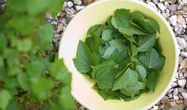 здоровые листья черной смородины