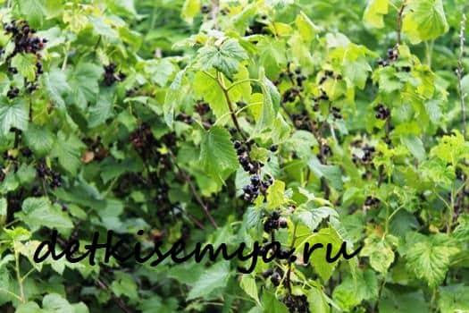 poleznye-svojstva-listev-smorodiny-i-protivopokazaniya