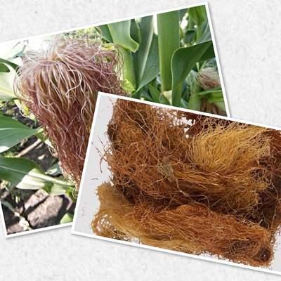 трава кукурузные рыльца