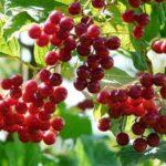 kalina-krasnaya-poleznye-svojstva-i-protivopokazaniya