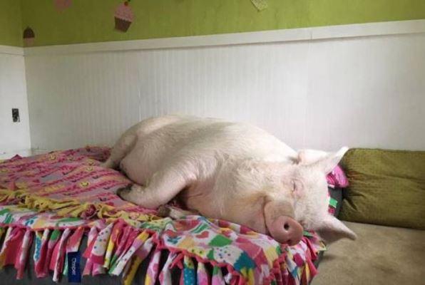 картинки для любимой на год свиньи