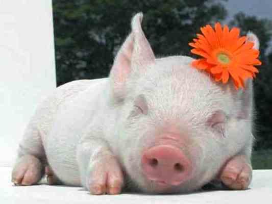 свинья женщина