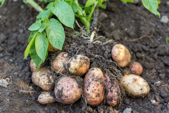 Как правильно сажать картофель?